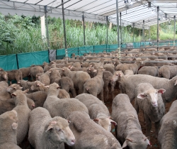 3,500 animals to be offered for Korban in Singapore this year: JKMS